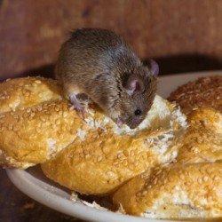Мышь грызет хлеб