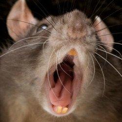 Крысы могут нападать на людей и животных